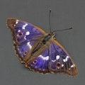 Butterfly - Lesser Purple Emperor over dark grey.