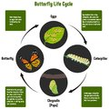 Butterfly Life Cycle Diagram Royalty Free Stock Photo