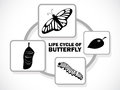 Butterfly life cycle image graphic style of on white background Stock Image