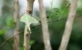 Butterfly Luna Moth