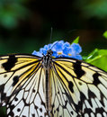 Butterfly lunch Royalty Free Stock Photo
