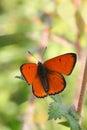 Butterfly lycaena dispar rest in the stem Stock Photos