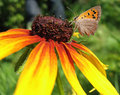 Butterfly Lycaena (Heodes) virgaureae on flower ru Royalty Free Stock Photos