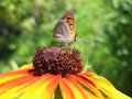 Butterfly Lycaena (Heodes) virgaureae on flower ru Stock Photo
