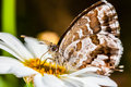 Butterfly macro extreme shot of a small feeding on a common daisy Stock Photography