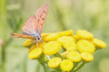 Butterfly macro view of an orange brown drunks nectar on yellow flower Royalty Free Stock Photography