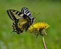 Butterfly mahaon papilio machaon on a dandelion Stock Images