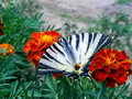 Butterfly on the Marigold Stock Photo