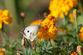 Butterfly on marigold closeup Royalty Free Stock Photo