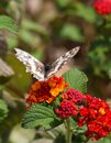 Butterfly melanargia galathea with white and brown color wings pollinating red and yellow flower. Blur green background, vertical Royalty Free Stock Photo
