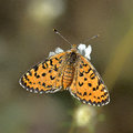 Butterfly melitaea trivia sitting on a flower Stock Photography