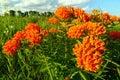 Butterfly Milkweed Asclepias tuberosa Royalty Free Stock Photo