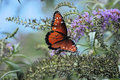 Butterfly monarch Royalty Free Stock Photos