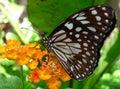 Butterfly monarch Στοκ εικόνες με δικαίωμα ελεύθερης χρήσης