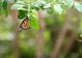 Butterfly Monarch Royalty Free Stock Photo