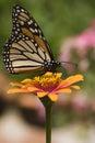 Butterfly monarch zinnia Стоковая Фотография RF