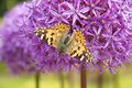 Butterfly is moving down from globemaster onion flower Royalty Free Stock Photography