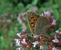 Butterfly named lycaena phlaeas a small copper while sitting on pink flowers Royalty Free Stock Photos