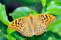 Butterfly in natural habitat melitaea aethera spring Royalty Free Stock Image
