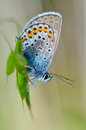 Butterfly in natural habitat plebejus argus beautiful Stock Photography