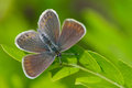 Butterfly in natural habitat plebejus argus spring Stock Photos