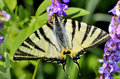 Butterfly in natural habitat scarce swallowtail Stock Photo