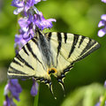 Butterfly in natural habitat scarce swallowtail Stock Photography