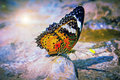 Picture : Butterfly  charles cavalier