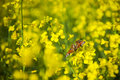 Butterfly on oilseed rape flower yellow Royalty Free Stock Image