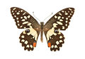 Butterfly with open wings in a top view as a flying Royalty Free Stock Photo