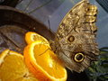 Butterfly on orange slice feasting an fesh Royalty Free Stock Photo