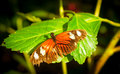 Butterfly orange wings with white blotches open on green leaf Royalty Free Stock Photography