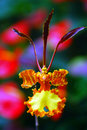 Butterfly Orchid Royalty Free Stock Photo