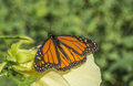 Butterfly of the order lepidoptera a monarch in central park in summer Royalty Free Stock Images