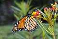 Butterfly of the order lepidoptera a monarch in central park in summer Royalty Free Stock Photos