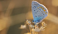 Butterfly outdoor polyommatus icarus Royalty Free Stock Photo