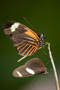Butterfly Pair Resting Royalty Free Stock Photo