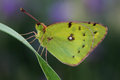 Butterfly pale clouded yellow colias hyale on grass macro Stock Image