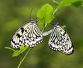 Butterfly - Paper Kite Mating Stock Image