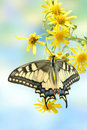 Butterfly Papilio machaon Stock Photography