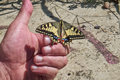 Butterfly papilio machaon laid on a hand the old world swallowtail is of the family papilionidae the is also known as the common Stock Images