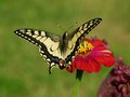 Butterfly papilio machaon on red flower Royalty Free Stock Image