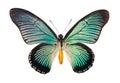Butterfly Papilio Zalmoxis Royalty Free Stock Photo