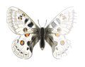 Butterfly Parnassius Apollonius. Royalty Free Stock Photography