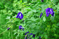 Butterfly pea flower Royalty Free Stock Photos