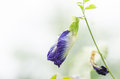 Butterfly pea flower in the green nature or in the garden Royalty Free Stock Images