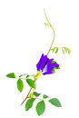 Butterfly pea flower with leaves on white background Royalty Free Stock Photography