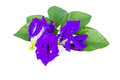 Butterfly pea flower with leaves on white background Stock Photos