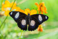 Butterfly perched atop the flower yellow Royalty Free Stock Images