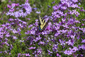 Butterfly and pholx swallowtail feeding on spring purple phlox Royalty Free Stock Photo